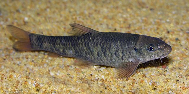 Ictioterapia pez Garra rufa almeria